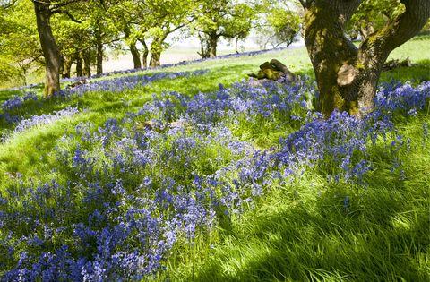 Blue, Plant, Plant community, Groundcover, Wildflower, Electric blue, Garden, Spring, Shrub, Flowering plant,