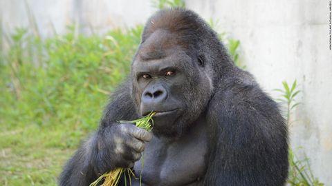 Handsome gorilla