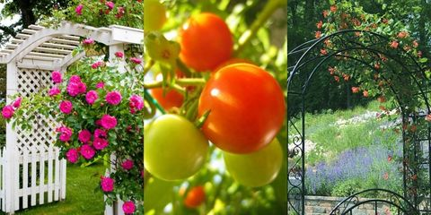 Tomato, Produce, Vegetable, Fruit, Shrub, Bush tomato, Petal, Natural foods, Whole food, Garden,