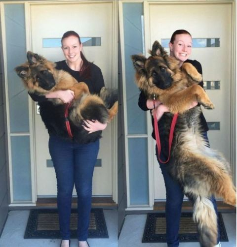 This Puppys Tremendous Growth Spurt Was Captured In The Cutest