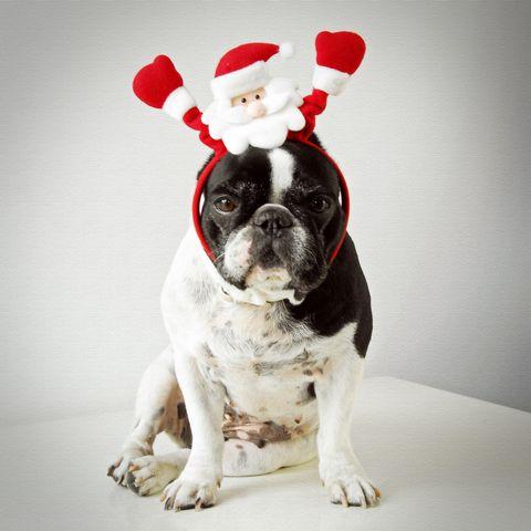 Vertebrate, Dog, Carnivore, Dog breed, Dog supply, Carmine, Working animal, Snout, Collar, Pet supply,