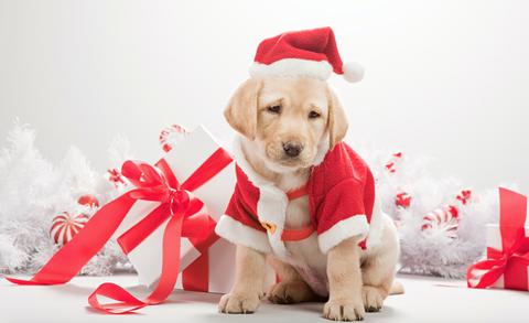Dog, Dog breed, Carnivore, Dog supply, Red, Sporting Group, Carmine, Collar, Dog clothes, Companion dog,