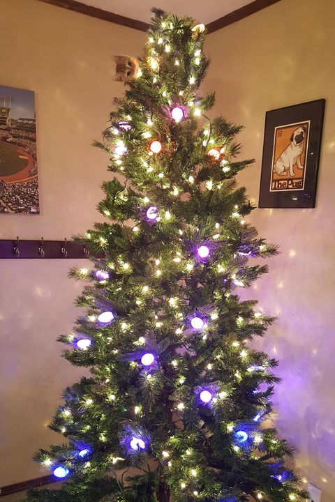 """<p><a href=""""http://imgur.com/DvHCTFy"""" target=""""_blank"""" data-tracking-id=""""recirc-text-link"""">Reddit user dublzz</a> says they had their tree up for """"about three minutes"""" before this cute kitty climbed to the top. Your Christmas tree is a party on a stick for kitty, so remember: fancy ornaments go on the top, cheap ornaments go on the bottom. These <a href=""""http://www.goodhousekeeping.com/holidays/christmas-ideas/how-to/a13834/felt-christmas-tree-decorations/"""" target=""""_blank"""" data-tracking-id=""""recirc-text-link"""">DIY felt ornaments</a> are pretty easy to make and will survive kitty's swatting.</p>"""
