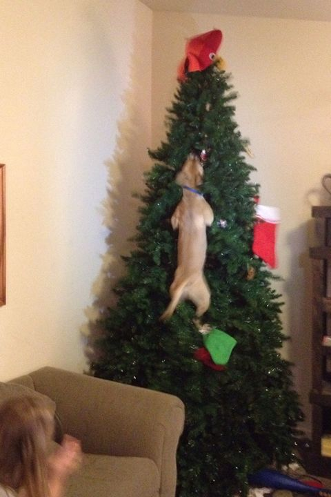 """<p>Oh boy, we can just see the dog shaming photos that came after <a href=""""https://www.reddit.com/r/pics/comments/1tp9eb/dog_jumped_in_christmas_tree_after_cat/"""" target=""""_blank"""" data-tracking-id=""""recirc-text-link"""">Reddit user dream_big8</a>'s dog jumped on the Christmas tree after the cat. Is it a Dogwood tree, by any chance?</p>"""