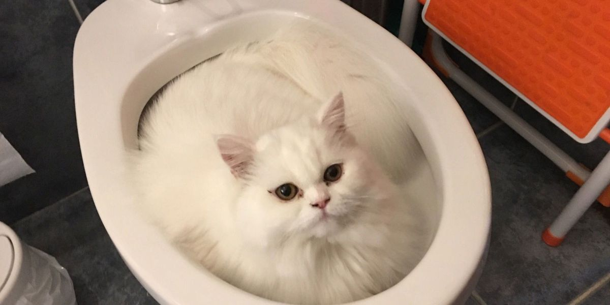 Teach Cat To Flush Toilet