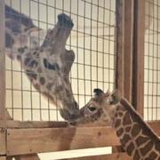 Giraffe, Giraffidae, Vertebrate, Terrestrial animal, Zoo, Wildlife, Adaptation, Snout, Organism, Animal shelter,