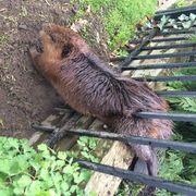 Capybara, Rodent, Zoo, Beaver, Plant,