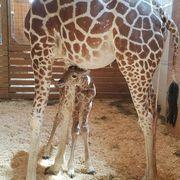 Organism, Brown, Natural environment, Vertebrate, Giraffidae, Giraffe, Terrestrial animal, Mammal, Jaw, Adaptation,