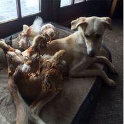 Dog, Vertebrate, Canidae, Mammal, Dog breed, Saluki, Longhaired whippet, Silken windhound, Whippet, Hortaya borzaya,