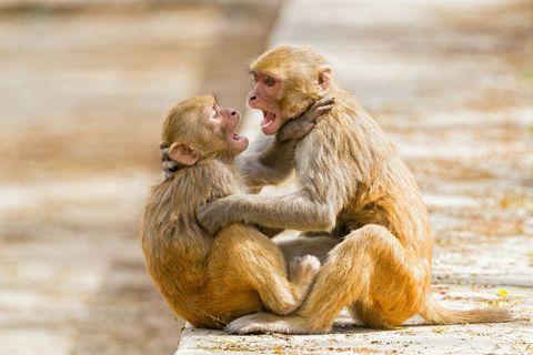 Mammal, Vertebrate, Rhesus macaque, Macaque, Primate, Organism, Temple, Wildlife, Sitting,