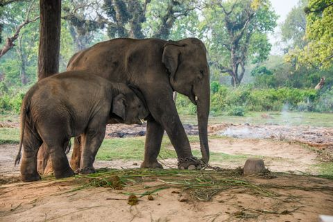Asian elephants (Elephas maximus) eating while tied up at government elephant stables (Hattisar) at Thakurdwara on the edge of Bardia National Park in the lowland Terai region of far west Nepal. These elephants are used daily for work within the national park.