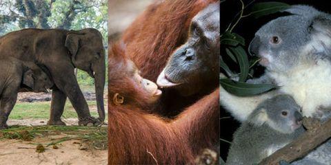 Organism, Skin, Vertebrate, Terrestrial animal, Primate, Orangutan, Nature reserve, Elephant, Elephants and Mammoths, Snout,