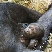 Vertebrate, Mammal, Primate, Skin, Common chimpanzee, Wrinkle, Snout, Zoo, Organism, Terrestrial animal,