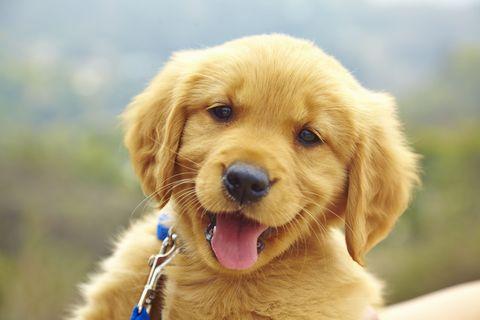 Dog, Mammal, Vertebrate, Dog breed, Canidae, Golden retriever, Retriever, Carnivore, Puppy, Nose,