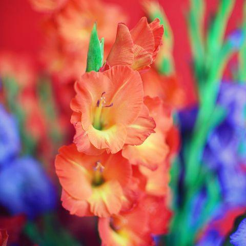 Their birth flower is the gladiola.