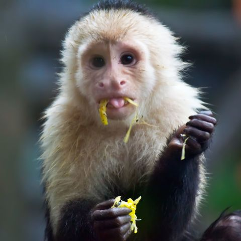 Mammal, Vertebrate, White-headed capuchin, White-fronted capuchin, Primate, Snout, Macaque, Mouth, Organism, Titi,