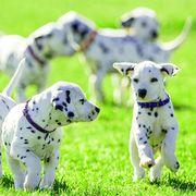 Dalmatian, Mammal, Dog, Vertebrate, Dog breed, Canidae, Carnivore, Non-Sporting Group, Snout, Grass,