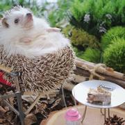 Hedgehog, Domesticated hedgehog, Erinaceidae, Porcupine, Fawn, Rodent,