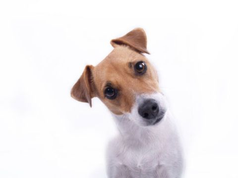 jack russell terrier staring at camera