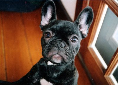 French Bulldog Extraordinaire