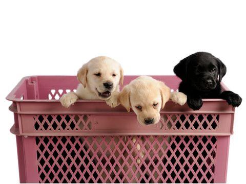 three labrador retriever puppies in a pink crate