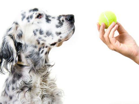 dog looking at tennis ball