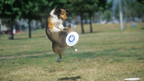 Catch a Frisbee dog contest