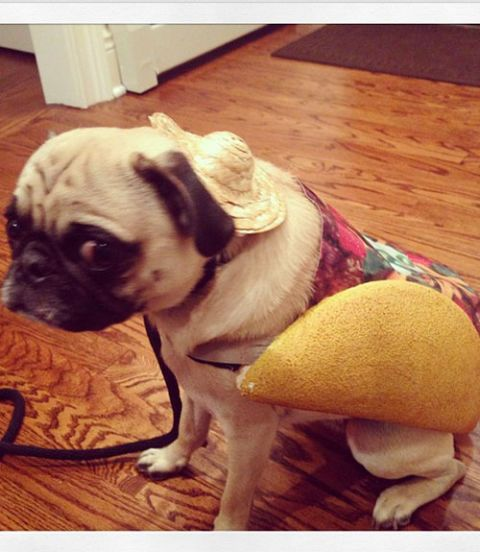 Dog in taco costume