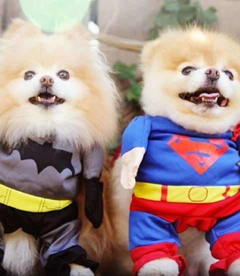 Dogs in Batman and Superman costumes