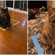 Wood, Floor, Brown, Flooring, Organism, Carnivore, Cat, Vertebrate, Felidae, Small to medium-sized cats,