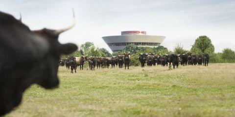 Plain, Bovine, Working animal, Terrestrial animal, Pasture, Grassland, Grazing, Herd, Rural area, Horn,