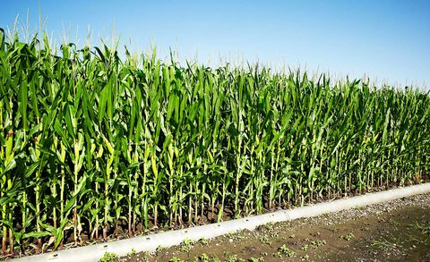Green, Agriculture, Field, Farm, Plantation, Land lot, Crop, Cash crop, Sugarcane,