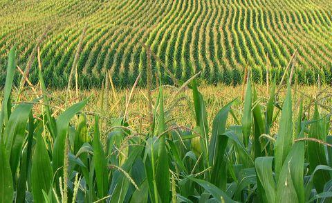 Agriculture, Farm, Plantation, Field, Crop, Cash crop, Terrestrial plant, Grass family, Paddy field,