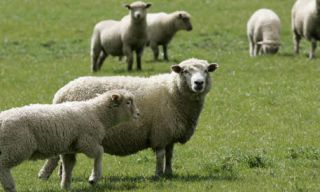 Nature, Green, Grass, Natural environment, Sheep, Vertebrate, Pasture, Grassland, Sheep, Photograph,