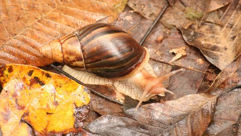 Nature, Brown, Snails and slugs, Leaf, Invertebrate, Snail, Amber, Terrestrial animal, Fawn, Close-up,