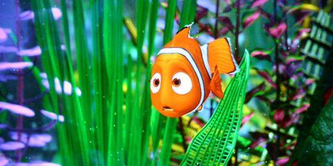 Organism, anemone fish, Fish, clownfish, Ray-finned fish, Fin, Pomacentridae, Marine biology, Bony-fish,