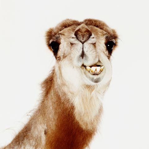 Brown, Skin, Jaw, Iris, Organ, Terrestrial animal, Snout, Neck, Lion, Fawn,