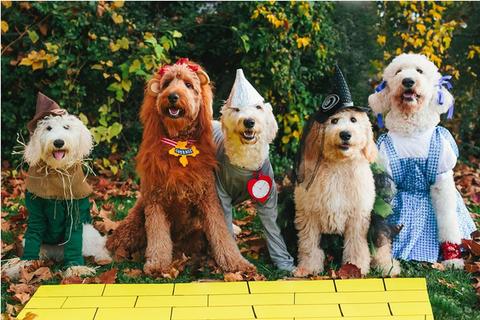 Dog breed, Vertebrate, Dog, Carnivore, Mammal, Sporting Group, Toy dog, Companion dog, Maltepoo, Canidae,