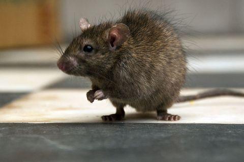 Brown, Skin, Organism, Pest, Vertebrate, Rodent, Mouse, Rat, Whiskers, Iris,
