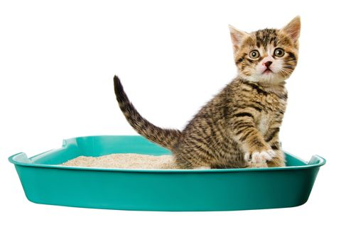 Whiskers, Vertebrate, Small to medium-sized cats, Felidae, Cat, Carnivore, Pet supply, Cat supply, Turquoise, Animal feed,