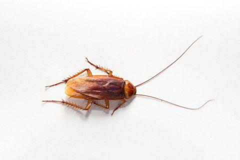 Invertebrate, Brown, Organism, Arthropod, Pest, Insect, Amber, Beauty, Tan, Parasite,