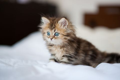 Cat, Mammal, Vertebrate, Small to medium-sized cats, Felidae, Carnivore, Whiskers, Kitten, Norwegian forest cat, Siberian,