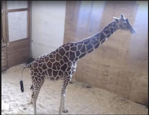 Giraffe, Giraffidae, Terrestrial animal, Vertebrate, Mammal, Wildlife, Zoo, Snout, Adaptation, Organism,