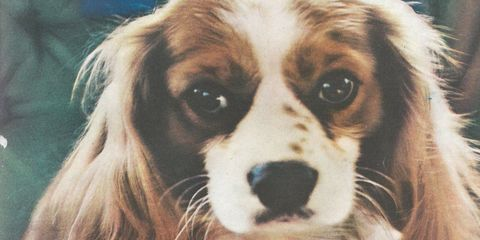 <p>The King Charles once more.</p>