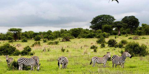 Zebra, Vegetation, Sky, Natural environment, Natural landscape, Terrestrial animal, Plant community, Vertebrate, Nature reserve, Plain,