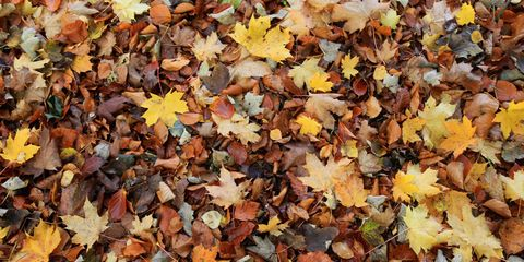 Deciduous, Yellow, Leaf, Autumn, Woody plant, Orange, Groundcover, Maple leaf, Maple,