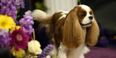 Dog breed, Carnivore, Dog, Flower, Petal, Watch, Purple, Wrist, Spaniel, Liver,