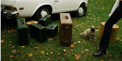Motor vehicle, Automotive tire, Dog, Pug, Alloy wheel, Carnivore, Automotive exterior, Fender, Dog breed, Rim,