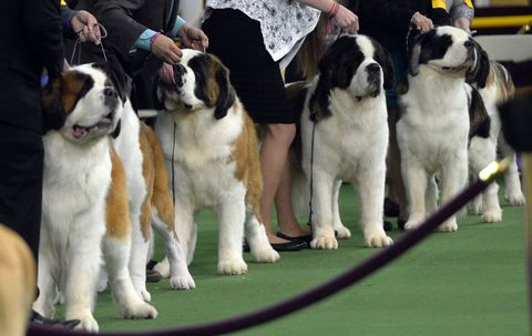 14 Photos Of The 2015 Westminster Dog Show - The 14 Most