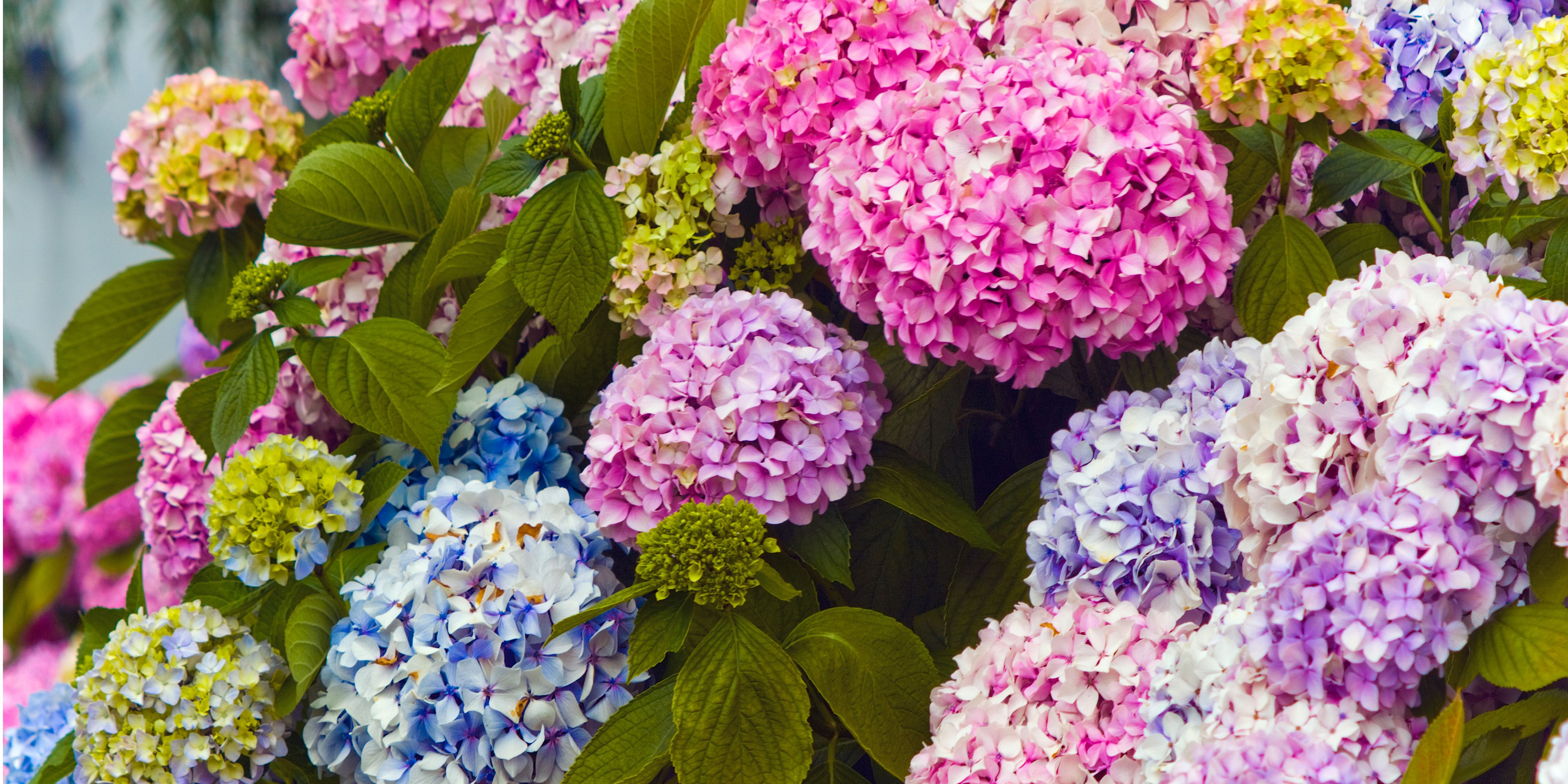 13 Facts About Hydrangea Things Every Hydrangea Fan Needs To Know